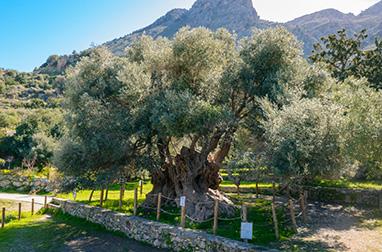 Crete - Ierapetra - Olive tree in Kavousi